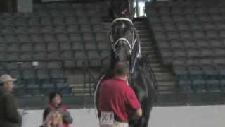 Windermere Farms World Champion Percheron Stallion