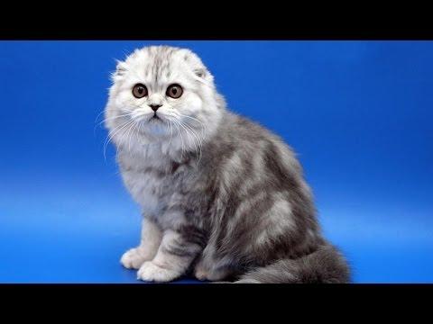 10 самых дорогих пород кошек