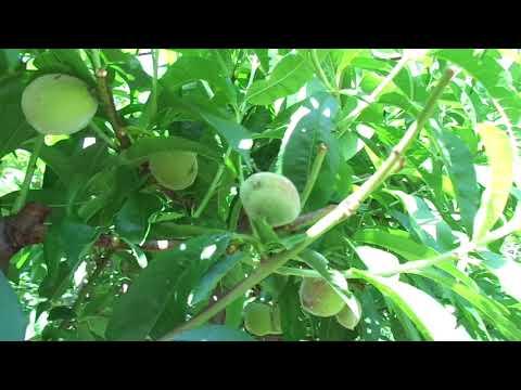 Регулируем  урожай (НОРМИРОВАНИЕ) плодовых деревьев – проверенные советы