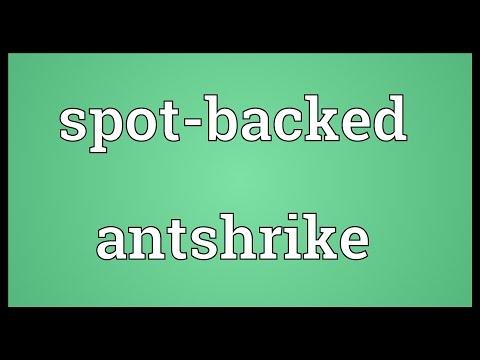Header of Spot-Backed Antshrike