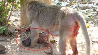 Pity poor baby monkey/why Merry do like this with her newborn?/she hates her baby?- Awesome Show
