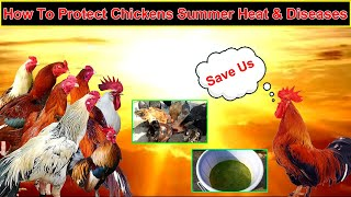 Summer Feed For Chickens & Protect Them From Heat Diseases || Chicken Feed