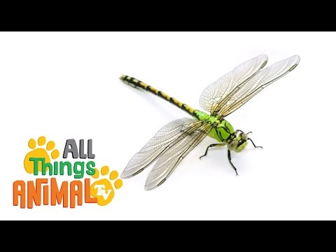 an introduction to the nature of dragonflies