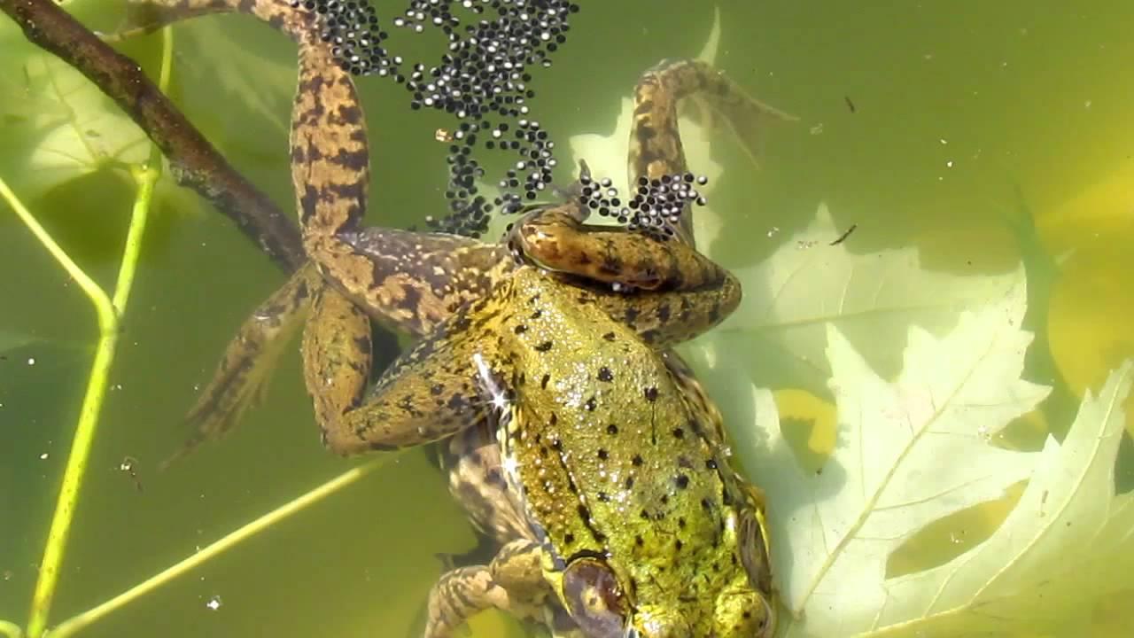 Frogs Fertilizing Eggs - YouTube