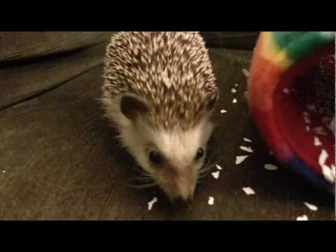 African Pygmy Hedgehog (exotic pet)