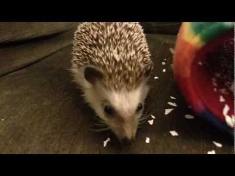 African Pygmy Hedgehog (exotic pet)