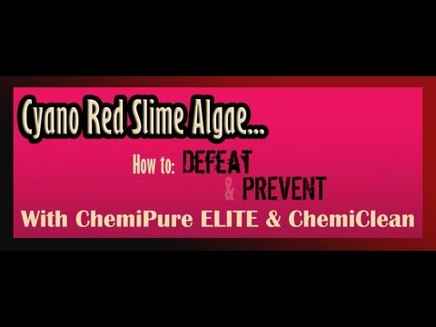 Cyano Bacteria ( Red Slime)  Problems Solutions Treatment Prevention