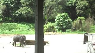 Chiang Mai - Elephant Plays Soccer