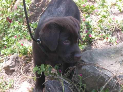 Le plus beau chien du monde labrador chocolat youtube - Le plus beau canape du monde ...