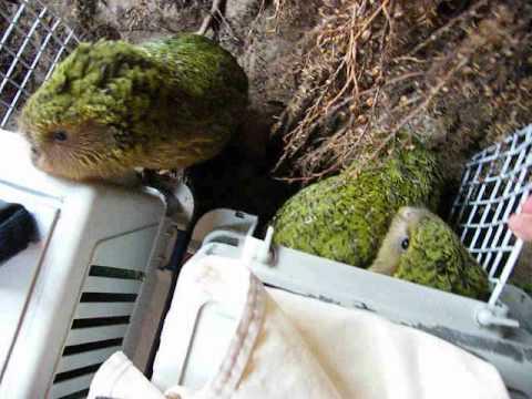 Kakapo chicks released back to the wild ( 2011 )