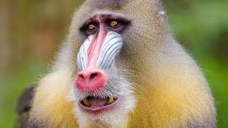 13 Most Interesting Types Of MONKEYS A to Z [videos]