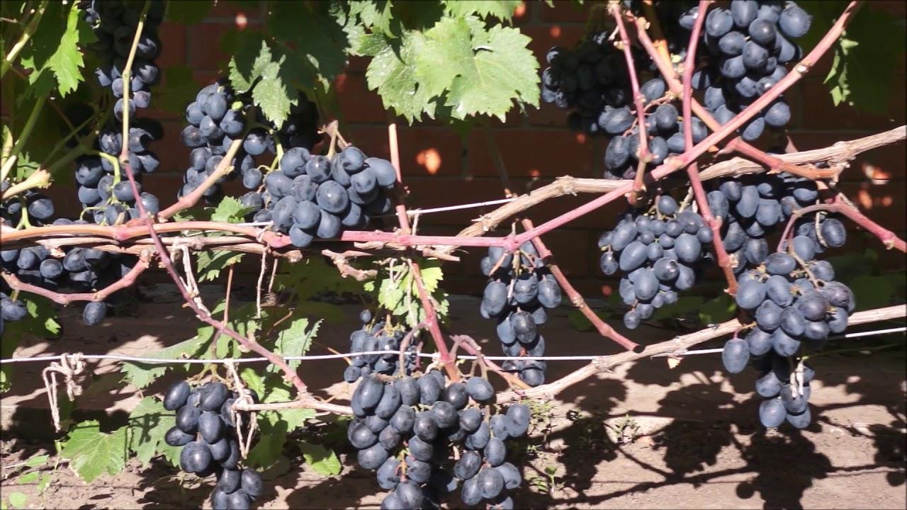 Виноград сорт девичьи