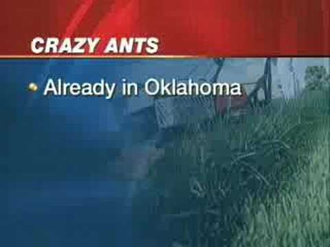 crazy-ants-that-eat-electronics-marching-to-oklahoma.html