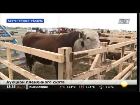 В Костанайской области прошел аукцион племенных бычков