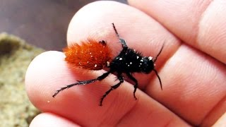 holding a cow killer, aka red velvet ant