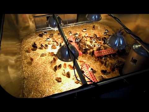 New Chicken Brooder