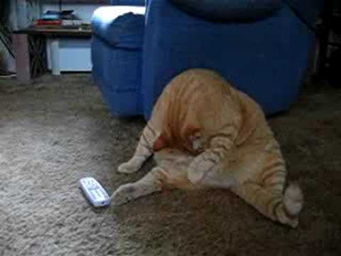 Funny Fat Cats Videos Funny Fat Cat Videos | Funny