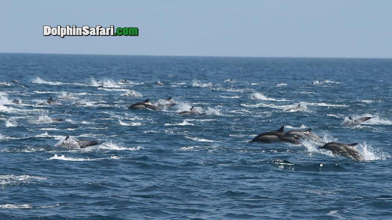 Mega pod of dolphins - photo#26