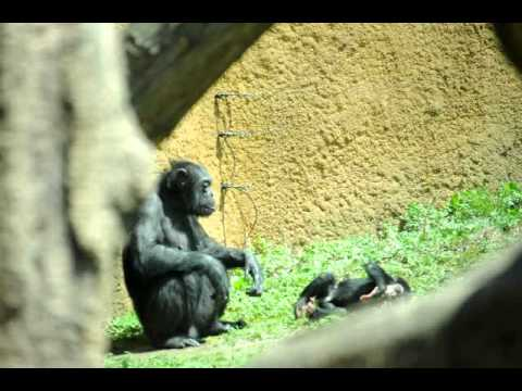 遊んでもらってご機嫌なチンパンジーの赤ちゃん(いしかわ動物園)