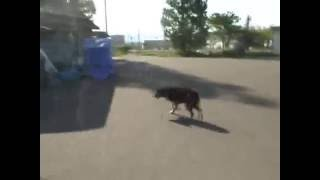 今日の肉球 梁川犬