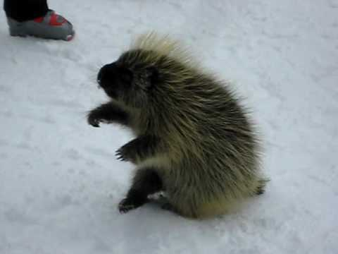 Stickers the Porcupine in Telluride Video