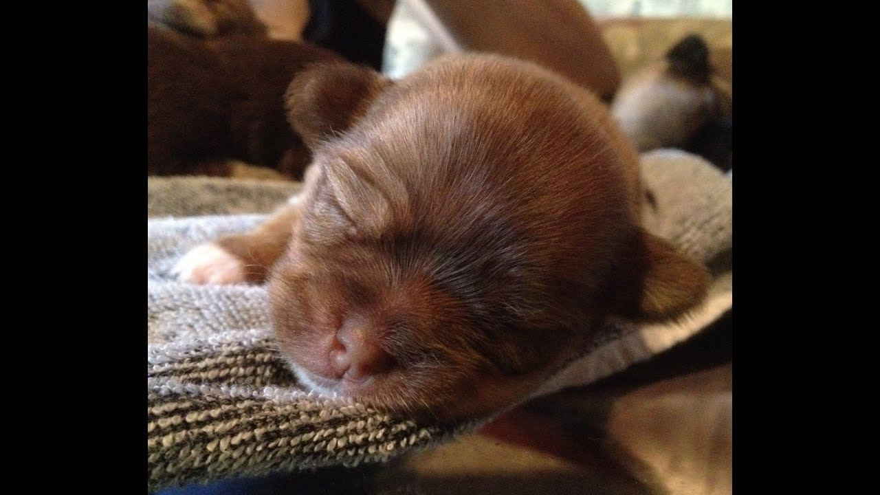 one week old mixed Chihuahua Terrier Pomeranian puppies - YouTube
