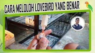 Cara meloloh / nyepet anakan Burung Lovebird yang benar #part1