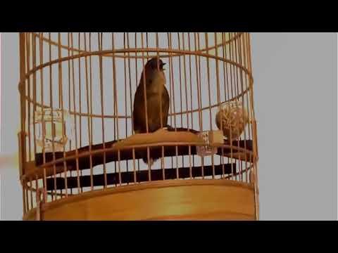 Download Suara Ampuh Pikat Buruk Prenjak Bawah Video dan Lagu MP3 ... d4366d8ac9
