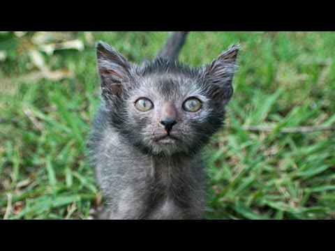 Werewolf Cat - Is It Wrong To Breed Pets Like This?