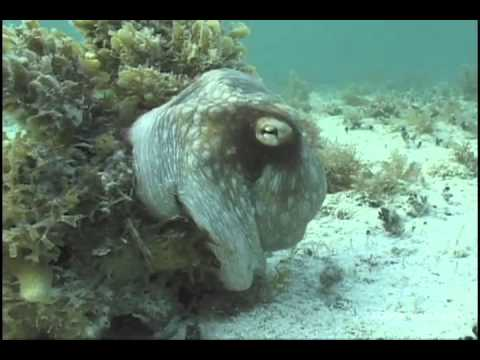 Camouflaged Octopus Makes Marine Biologist Scream Bloody Murder
