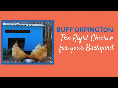 Buff Orpington The Right Chicken for your Backyard
