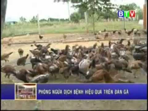 chăn nuôi: nuôi gà