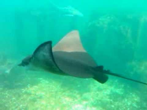 Manta Ray Sting Sting Ray Manta Ray Swimming