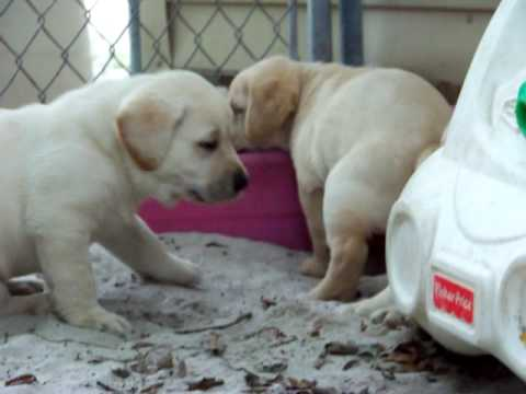 yellow labrador puppies for sale. Yellow Labrador Puppies For