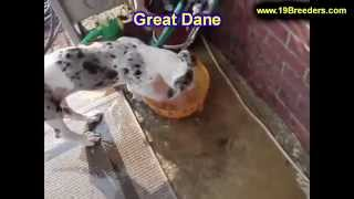 Great Dane, Puppies, For, Sale, In, Des Moines, Iowa, IA, Bettendorf, Marion, Cedar Falls, Urbandale