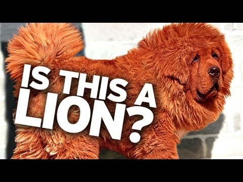 Zoo Claims Dog is a Lion!