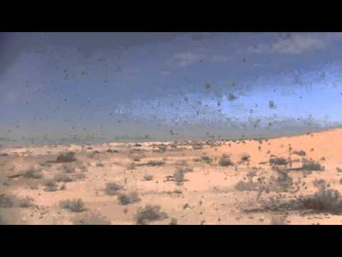 Current situation of desert locust in Mauritania 2013.