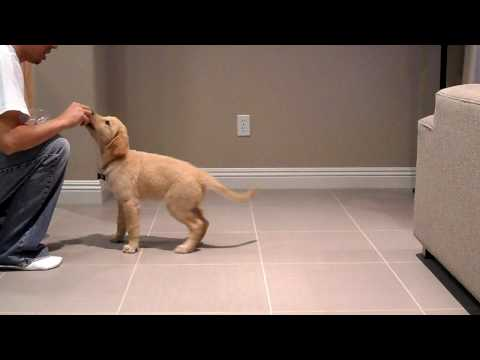 Peanut Golden Retriever at 10 weeks old doing tricks