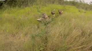 LiveLeak com   Wild Dogs vs Hyenas Hyenas Steal Wild Dogs Kudu Kill  Must See Video !