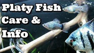 Platy Fish Care and Information
