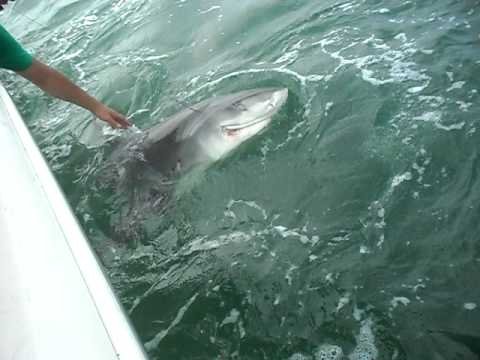 Myrtle beach fishing videos for Shark fishing myrtle beach