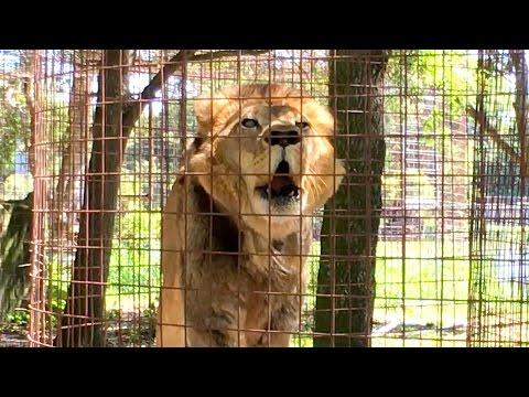 Lion ROAR!!