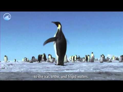 Animals of the Ice: Emperor Penguin