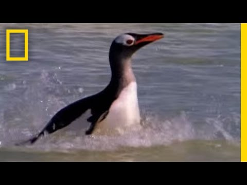 Sea Lion vs. Penguin