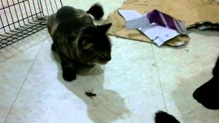 Cat catches cockroach, kills and eats it in Taiwan
