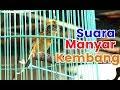 MANYAR KEMBANG Suara Asli Hutan Weaver Bird Singing mp3