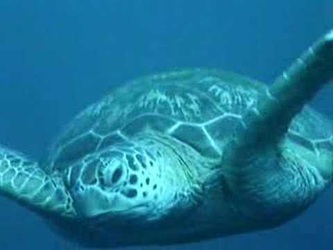 sea turtle swimming youtube
