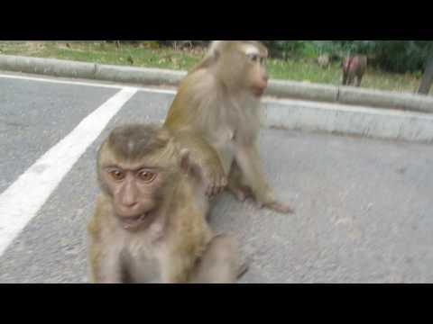 Тайланд. Пхукет. Обезьяны воруют очки. Гора обезьян. Monkey Hill