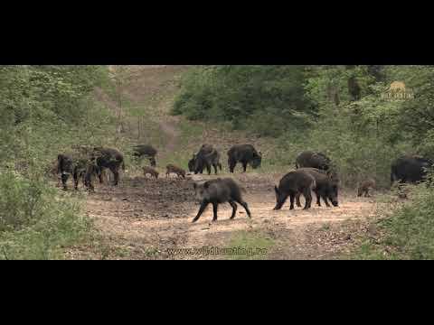 Wild Boar Presentation - Wild Hunting Romania 2020