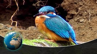 The kingfisher - Germany's flying diamond